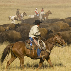 Men on horses herding buffalo.
